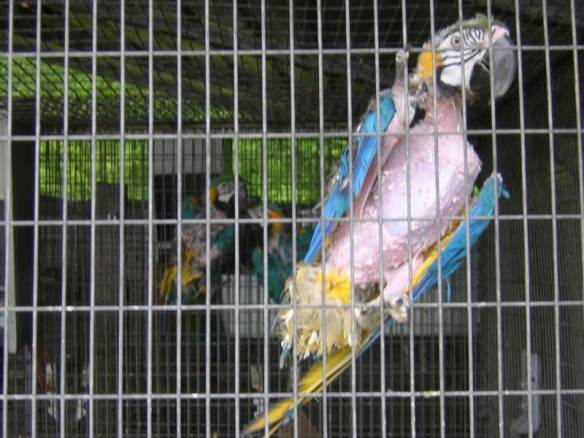 31 Macaws Project Perry