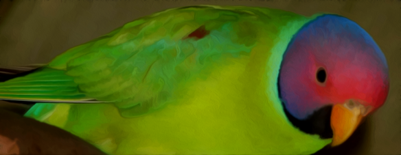 plumheaded_parakeet_1